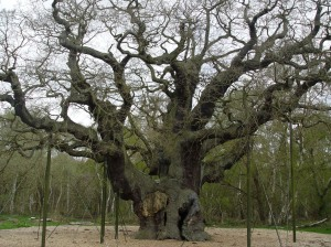 The Major Oak of Sherwood Forest, Nottinghamshire, England. Fotografía de Eduardo Estala Rojas.